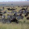 Herbivor seperti Zebra Nekat Cari Makan di Wilayah Singa, Kenapa?