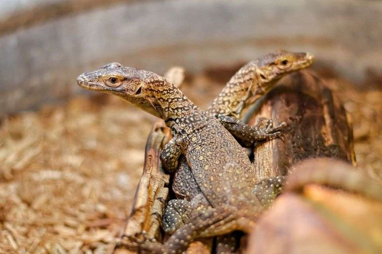 Dua dari tiga bayi komodo yang baru lahir di Kebun Binatang Chattanooga. Ketiga bayi komodo berjenis kelamin jantan, dan lahir dari proses pembuahan partenogenesis, yakni tidak melibatkan pejantan.