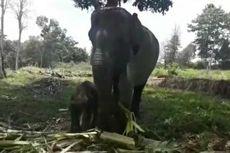 Gajah Betina yang Terluka Parah akibat Jerat Akhirnya Melahirkan