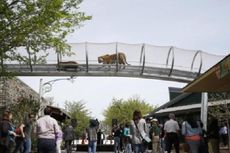 Harimau di Kebun Binatang Philadelphia Bebas Jalan-Jalan