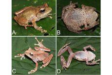 Peneliti Kenalkan 4 Spesies Katak Baru dari Sumatra