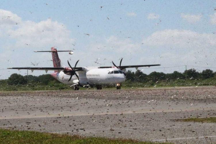 Kawanan belalang berada di landasan pacu Bandara Umbu Mehang Kunda, Waingapu, Sumba Timur, NTT