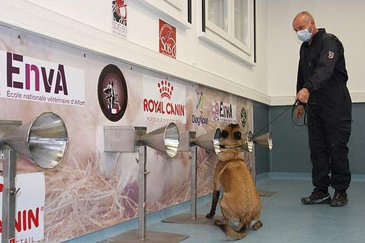 Anjing pendeteksi pasien Covid-19.