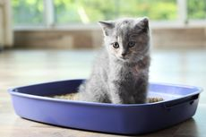 Kucing Sembelit: Penyebab, Gejala, dan Cara Menanganinya