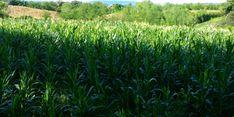 Jagung Sumbawa Diekspor ke Filipina
