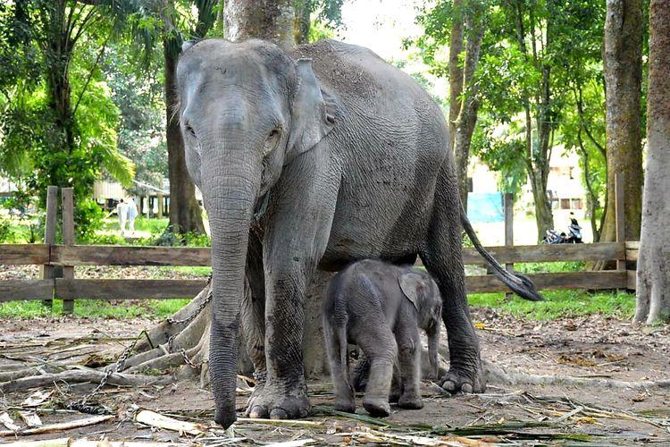 Gajah Ngatini dengan bayinya, Damar, yang baru saja lahir di TWA Buluh Cina di Desa Buluh Cina, Kecamatan Siak Hulu, Kabupaten Kampar, Riau, Jumat (3/7/2020).