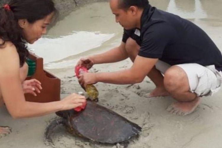 Seekor penyu hijau terdampar di Pantai Angsana Bintan di Kawasan Pariwisata Lagoi Kabupaten Bintan, Kepulauan Riau, Minggu (15/12/2019) dalam kondisi mengenaskan terlilit jaring dan berlumur minyak hitam.