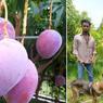 Tak Sengaja Tanam Mangga Termahal di Dunia, Petani Ini Kini Harus Sewa Petugas Keamanan