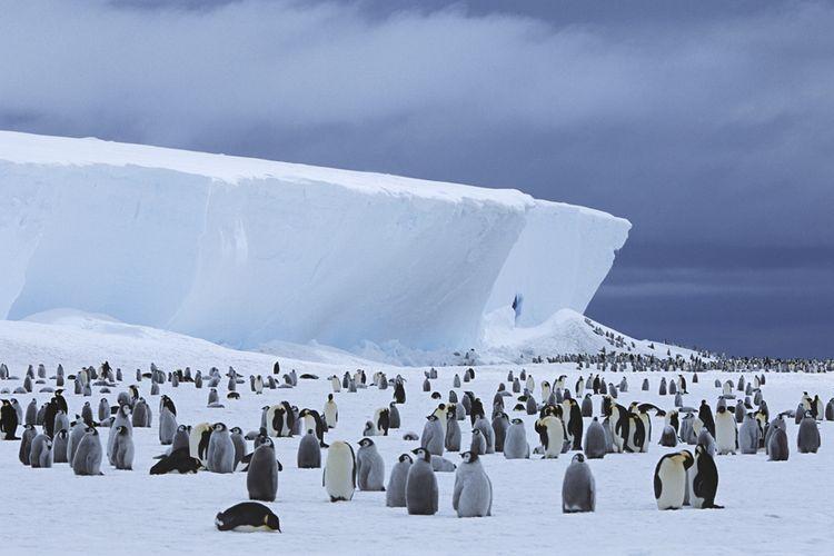 Ilustrasi koloni penguin di Antartika.