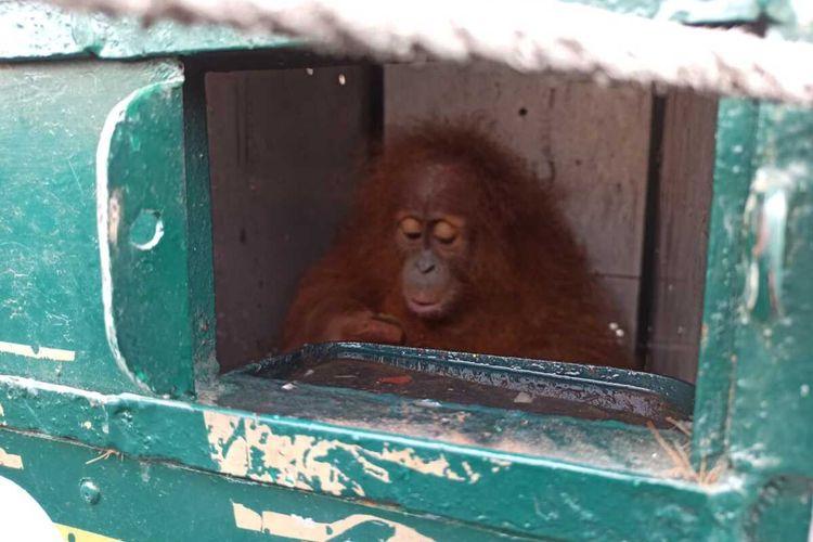 Orangutan Sumatera berusia dua tahun ini setibanya di Kargo Bandara Internasional Kualanamu kemudian dibawa ke Pusat Rehabilitasi dan Karantina Orangutan Sumatera di Batu Mbelin, Sibolangit, Deli Serdang.