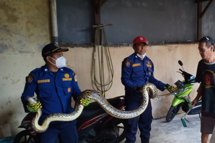 Ular sanca dengan panjang 3,5 meter ditemukan di salah satu rumah warga di Jalan Masjid Al Maghbrok, Kelurahan Balekambang, Kecamatan Kramatjati, Jakarta Timur, Minggu (27/12/2020).