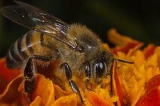 2 Orang Tewas Disengat Lebah, Pemerintah Desa Panggil Pawang