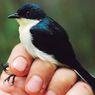 Uniknya Ciri Tubuh Berrypecker, Burung Buah Satin dari Pegunungan Papua Barat