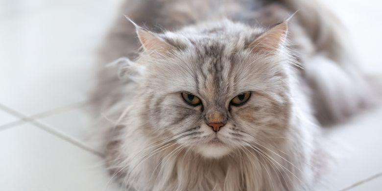 Kucing Himalaya Si Cantik Hasil Kawin Silang Persia Dan Siam Halaman All Kompas Com
