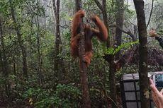 Dirawat 3 Bulan, Orangutan Tapanuli Kembali Dilepasliarkan
