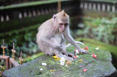 Berbagai Bukti Monkey Forest Ubud Tempat Keramat