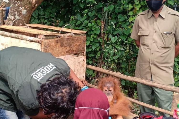 Satu ekor anak Orangutan Tapanuli yang ditemukan warga masuk ke perkampungan di Desa Siandorandor, Tarutung, Tapanuli Utara dan dievakuasi petugas, Senin (15/6/2020). Orangutan berjenis kelamin betina ini, diperkirakan berusia dua tahun dan diberi nama Andorulina.