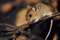 Dinkes DKI: Banyak Tikus di Jakarta tetapi Angkanya Tidak Menonjol