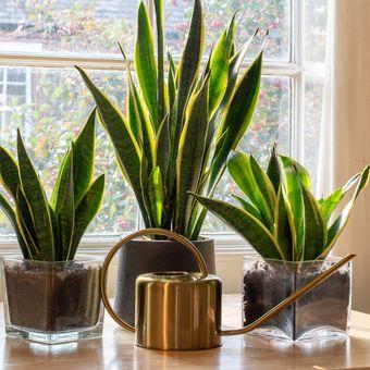 Ilustrasi tanaman hias lidah mertua atau Sansevieria di dalam ruangan.