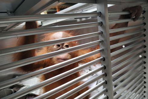 Penyelundupan Anak Orangutan Digagalkan di Bandara Ngurah Rai Bali