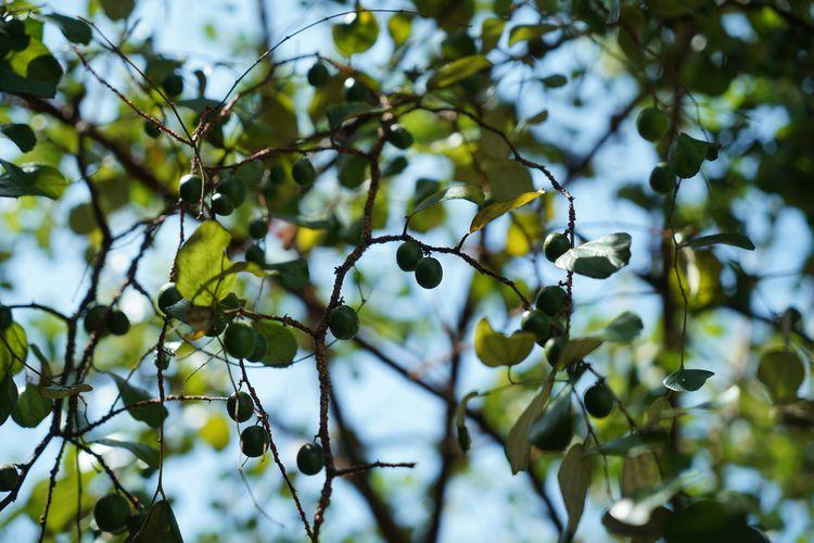 Ilustrasi pohon bidara, semua bagiannya berkhasiat untuk kesehatan.