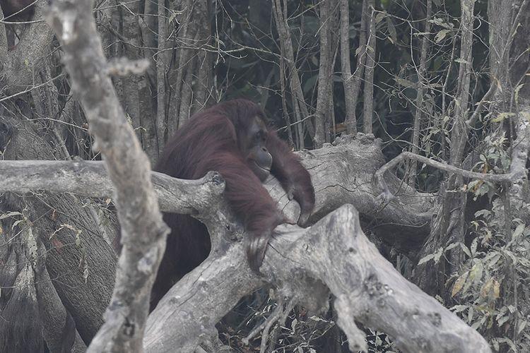 Seekor orangutan (Pongo pygmaeus) berada di lokasi pra-pelepasliaran di Pulau Kaja, Sei Gohong, Palangkaraya, Kalimantan Tengah, Kamis (19/9/2019). Sebanyak 37 orangutan yang dirawat di pusat rehabilitasi Yayasan BOS (Borneo Orangutan Survival) di Nyaru Menteng, Palangkaraya, terjangkit infeksi saluran pernapasan akibat menghirup kabut asap dari kebakaran hutan dan lahan.