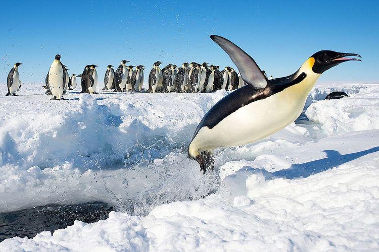 Ilustrasi penguin kaisar di Antartika terancam punah akibat perubahan iklim.