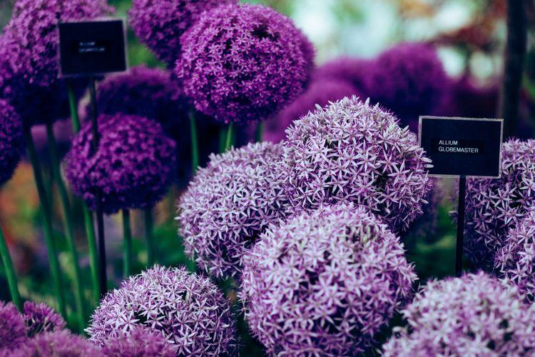 Ilustrasi bunga allium.