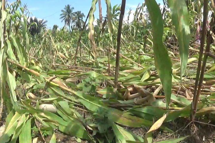 Tanaman jagung milik warga rusak akibat diterjang puting beliung, Sabtu (24/11/2018)