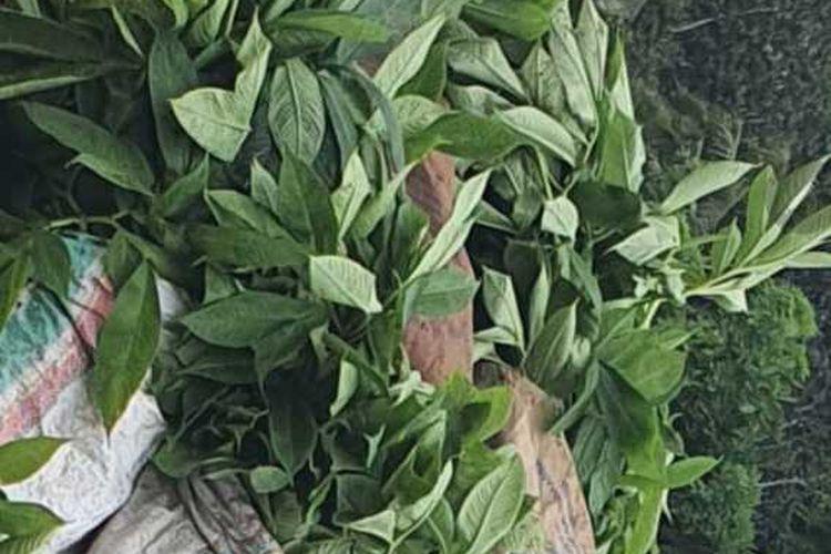 Bibit tanaman Porang berupa umbinya siap di tanam di kebun milik anggota DPRD Manggarai Timur, Vinsensius Reamur, Jumat, (16/4/2021). (KOMPAS.com/DOK-Vinsensius Reamur)