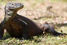 Pulau Komodo Masuk Destinasi yang Sebaiknya Tidak Dikunjungi 2020, Kenapa?
