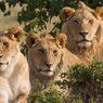 Batuk dan Bersin, 4 Singa di Kebun Binatang Barcelona Positif Covid-19