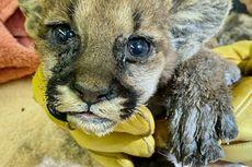 Kehilangan Cakar, Kumis, dan Induknya, Anak Singa Ini Berisiko Dibebaskan di Alam Liar