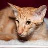 Fakta Tentang Kucing Jawa, Si Cantik yang Suka Dielus