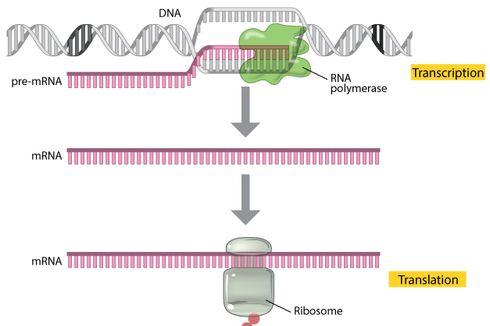 Soal Sintesis Protein: Mengetahui Apa Saja Tahapan Sintesis Protein