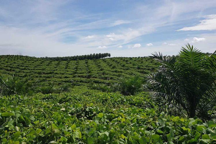 Hamparan kebun sawit petani KUD Makarti Jaya di Desa Kumain, Kecamatan Tandun, Kabupaten Rohul, Riau, Selasa (17/11/2020).