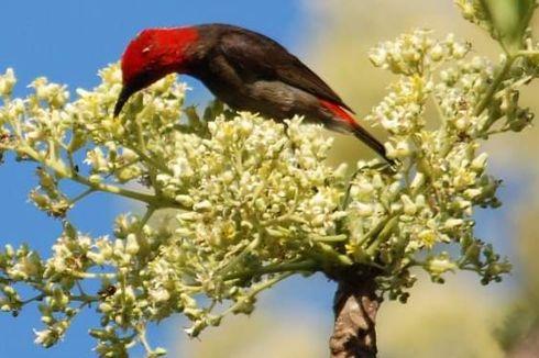 Melihat Eduwisata Oelsonbai di Kota Kupang, Ada Rusa Timor dan Burung Endemik Myzomela Rote