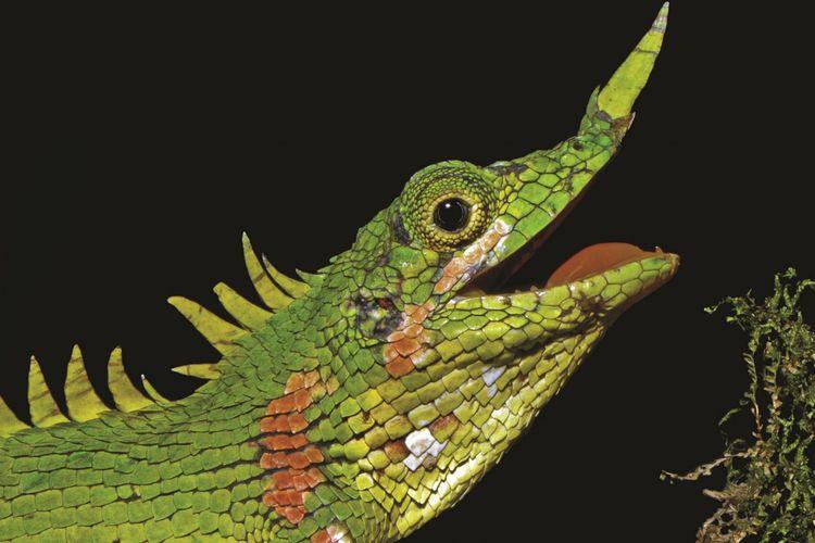 Kadal berhidung tanduk, Harpesaurus modiglianii Vinciguerra, adalah kadal paling langka di dunia. Setelah 129 tahun menghilang, kadal ini ditemukan lagi di sekitar Danau Toba, Sumatera Utara.