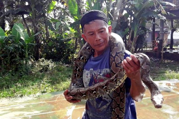 Seorang warga Desa Maleber, Kecamatan Karangtengah, Kabupaten Cianjur, Jawa Barat, memerlihatkan seekor ular sanca yang berhasil ditangkap, Senin (15/6/2020) petang