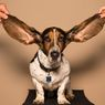 6 Ras Anjing dengan Telinga Panjang yang Lucu dan Menggemaskan