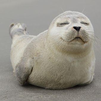 Anjing laut tidak memiliki daun telinga