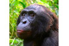 """Seperti Manusia, Bonobo Betina Melahirkan Dibantu """"Bidan"""""""