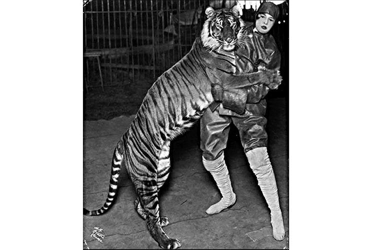 Harimau bali dalam pertunjukkan sirkus Ringling Bros, diambil sebelum tahun 1915