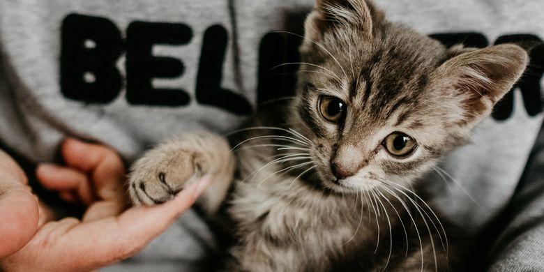 Kenapa Kucing Menjilati Rambut Pemiliknya?