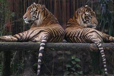 Dikepung Harimau, 5 Orang Nangkring di Pohon Berhari-hari