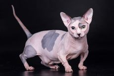 5 Fakta Menarik Kucing Bambino, Ras Kucing Kerdil dan Tanpa Bulu