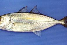 Cegah Penurunan Populasi Ikan Selar Bentong, Kementerian KP Lakukan Penelitian