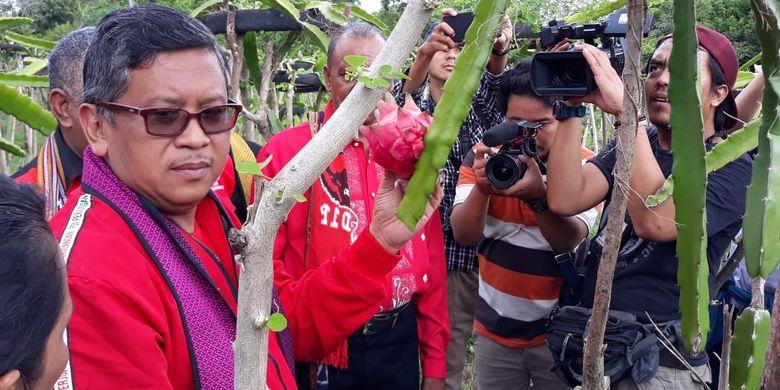 Sekjen PDI Perjuangan Hasto Kristiyanto mengunjungi kebun buah naga di Maumere, NTT, Selasa (9/4/2019).