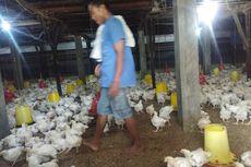 Terimbas Covid-19, Harga Ayam di Medan Anjlok Jadi Rp 10.000 Per Kg, Peternak Rugi Besar