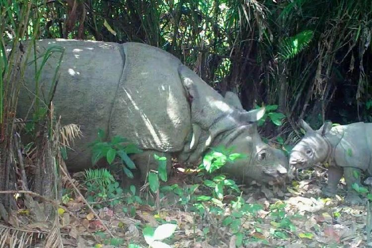 Sepasang Badak Jawa yang tertangkap camera trap di Taman Nasional Ujung Kulon (TNUK), Pandeglang, Banten. Hasil riset dari berbagai lembaga dan TNUK sendiri, jumlah satwa dilindungi ini pada tahun 2016 akhir hanya tinggal 67 ekor.